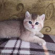 Котята британской золотой тикированной, в Барнауле