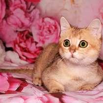 Шотладский котик окрас ny 11, в Ростове-на-Дону