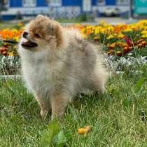 Продаю щенка шпица, в Москве