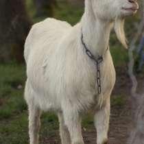 Козы, козлята, в Димитровграде