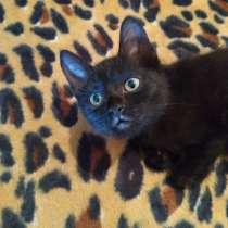 Котенок черный (метис Бомбейской кошки), в г.Харьков