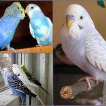 Волнистые попугаи, в Красноперекопске