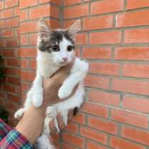 Сибирский котенок Крош в дар, в Москве