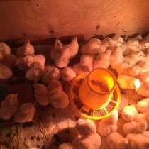 Цыплята, в Вышний Волочек