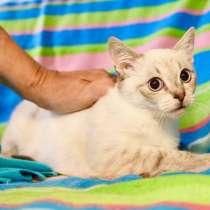 Тайский котенок-подросток Принц ищет дом, в Москве