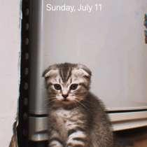 Шотландский вислоухий кот, в г.Мозырь