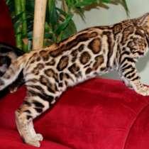 Бенгальские кошки Аликанте, в г.Аликанте