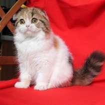 Кошечка хайленд фолд, в г.Пекин