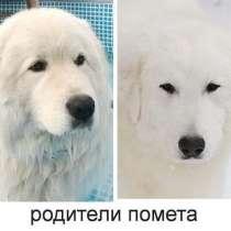 Продаются щенки Мареммо-абруцко й овчарки, в Москве