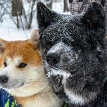 Шикарные щенки акиты, в Челябинске