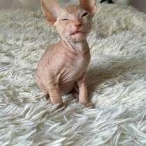 Продам котёнка канадского сфинкса, в г.Гомель