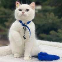 Куплю или приму в дар котёнка Британской пароды, в г.Брилон
