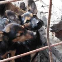 Продам щенков породы, доберман, в Тамбове