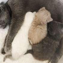 Шотландские котята в заботливые руки, в г.Аликанте