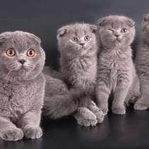 Продам шотландских вислоухих котяток, цены разные, в Чите