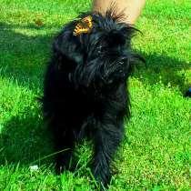 Аффенпинчер щенок, в Челябинске