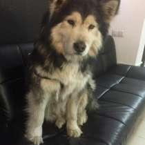 Пропала собака!, в г.Бишкек