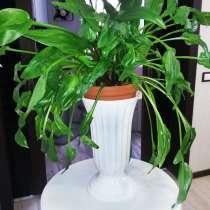 Растение Дримиопсис - 80 см в диаметре, в Санкт-Петербурге