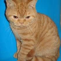 Чистокровного британского котика уникальных линий, в Калининграде
