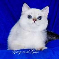 Британская шиншилла котик Кай с фиалковыми глазками, в Москве