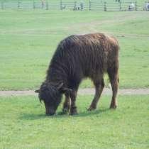 Предлагаем к продаже молодняк и взрослых буйволов, в Липецке