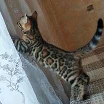 Бенгальские котята, в Серове