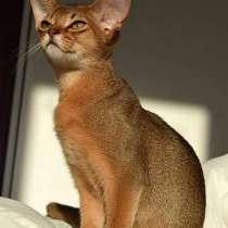 Ищу абиссинского котёнка, в г.Вильнюс