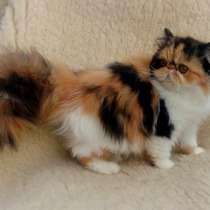 Шикарные персидские котята девочки, в г.Киев