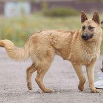 Собака Метис Малинуа, в Москве