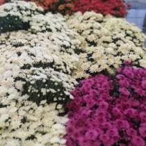 Герань, фуксия, хризантема, в Екатеринбурге