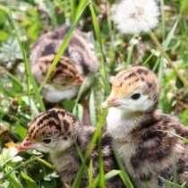 Домашняя птица Суточный молодняк разных пород Энем, в Краснодаре