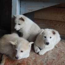 Продам щенков западно-сибирской лайки, в Зеленогорске