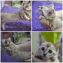 Бенгальские котята, в Красноярске
