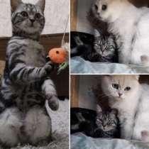 Шотландские котята с документами, в Сочи