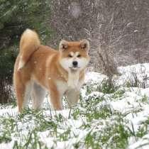 Супер щенок. акита-ину, в Петрозаводске