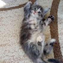 Котята мейн-куна, в Бору