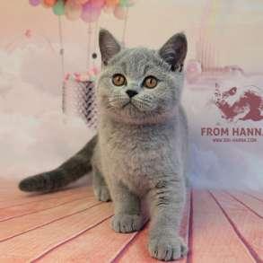 Британские голубые котята, в г.Минск