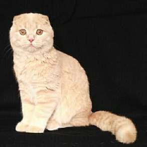 Шотландский котик в разведение, в Москве