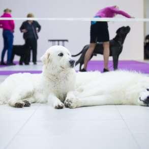 Кобель мареммо-абруцкой овчарки для вязки, в Москве