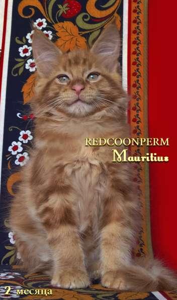 Котята мейн кун красные в Москве фото 8