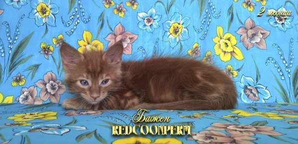 Котёнок менй кун красный солид. Шоу класс в Перми фото 16