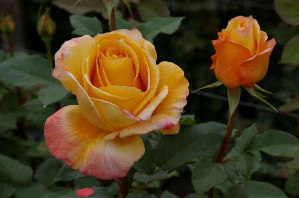 Розы от плантаций Эквадора в Москве