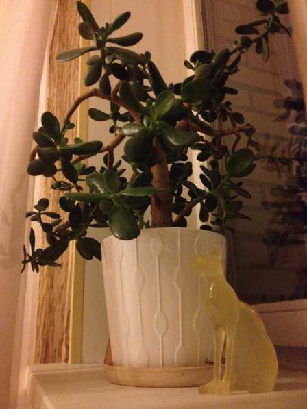 Денежное дерево. Толстянка
