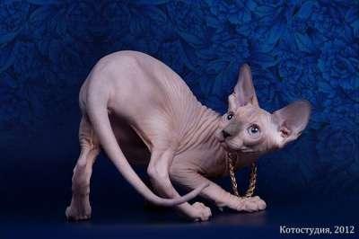 Сфинксы - магические кошки