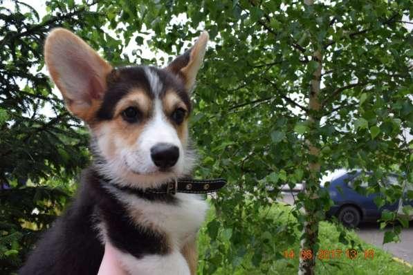Вельш корги пемброк щенки в Смоленске фото 11