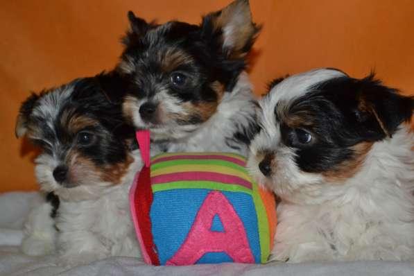 Клубные щенки Бивер Йорка + подарок от фирмы