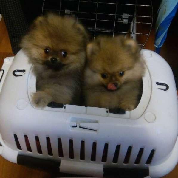 Готовятся к резервированию щенки померанского шпица