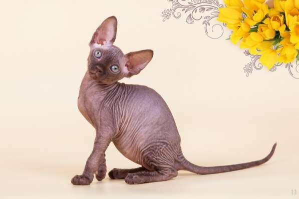 Бархатный котёнок с душой Эльф, Двэльф, бамбино или сфинкс в фото 3