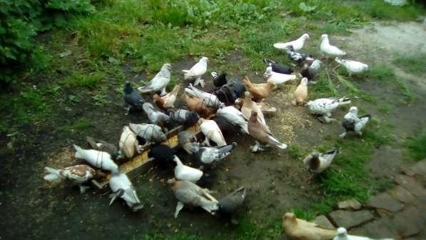 Голуби. Узбеки, птица гонная с игрой, есть почтари в Воронеже фото 3
