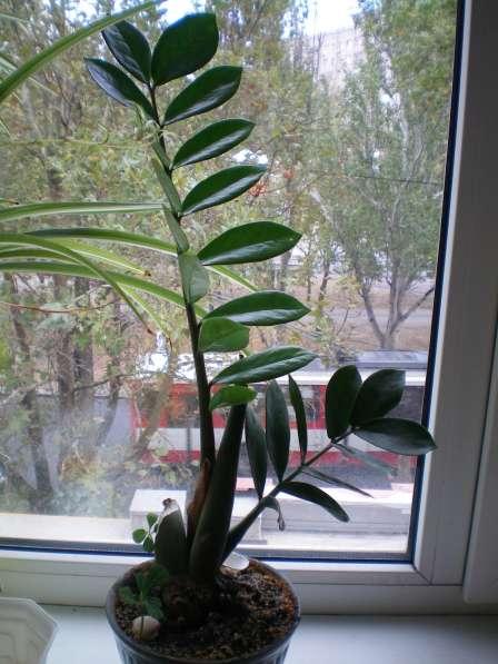 Зимиокулькас-долларовое дерево